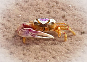 Fiddler Crab Prints - Big Claw Print by Patrick M Lynch