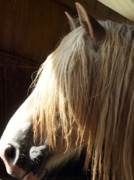 Belgian Draft Horse Photos - Big Duke by Lynda Dawson-Youngclaus