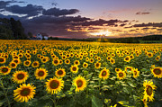 Rustic Scenes Photos - Big Field of Sunflowers by Debra and Dave Vanderlaan