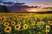 Big Field Of Sunflowers Print by Debra and Dave Vanderlaan