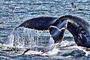 Humpback Whale Framed Prints - Big Fluke Humpback Tail Framed Print by Brandi Fitzgerald