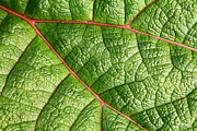 Green Leafs Posters - Big Green Leaf 5D22460 Poster by Wingsdomain Art and Photography
