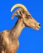 Big Horn Sheep Photos - Big Horn Against Blue by Adam Jewell