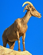 Big Horn Sheep Photos - Big Horn At Joshua Tree by Adam Jewell