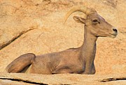 Big Horn Sheep Photos - Big Horn Blending In by Adam Jewell