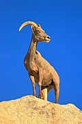 Big Horn Sheep Framed Prints - Big Horn Pose Framed Print by Adam Jewell