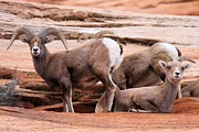 Big Horn Sheep Photos - Big Horn Ram by Adam Jewell