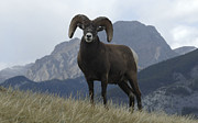 Canadian Wildlife Posters - Big Horn Sheep 2 Poster by Bob Christopher