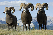 Travel Alberta Prints - Big Horn Sheep Print by Bob Christopher