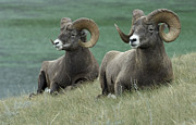 Travel Alberta Prints - Big Horn Sheep Duo Print by Bob Christopher