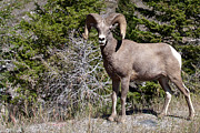 Eugene Dailey - Big Horn Sheep