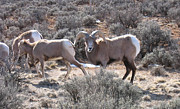 Kerry  Bennett - Big Horn Sheep in Taos