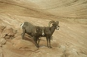 Bighorn Photos - Big Horn Sheep by Jeff  Swan