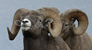 Big Horn Sheep Photos - Big Horn Sheep Keep Your Distance by Bob Christopher