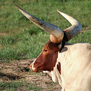 Steer Photos - Big Horns by Art Block Collections