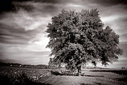 Large Photo Metal Prints - Big Old Tree Metal Print by Olivier Le Queinec