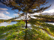 Oleksiy Maksymenko - Big pitch pine tree in...