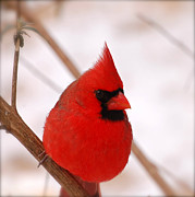 Baby Cardinals Posters - Big Red  Cardinal Bird In Snow Poster by Peggy  Franz