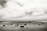 Ari Jacobs - Big Sur Cows