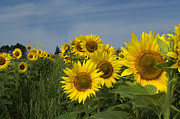 Sunflowers Art - Big yellow sunflowers in a Michigan field by Diane Lent
