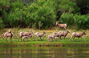 Bighorn Photos - Bighorn Herd by Inge Johnsson