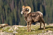 Rocky Mountain National Park Posters Prints - Bighorn Ram by Drop-off Print by James Futterer