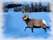 Winter Photo Posters - Bighorn Ram Poster by Kae Cheatham