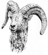 Lana Tyler - Bighorn Ram