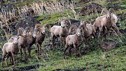 Ewes Art - Bighorn Reunion by Steve McKinzie