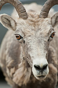 Bighorn Photos - Bighorn Sheep 1 by Michael  Nau