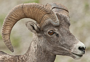 Bighorn Photos - Bighorn Sheep 2 by Michael  Nau