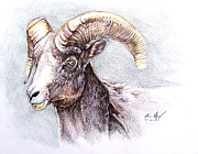 Brown Hair Drawings Posters - Bighorn Sheep Poster by Aaron Spong