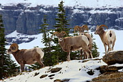 Bighorn Photos - Bighorn sheep at Glacier National Park by Jetson Nguyen