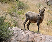 Bradley Poage - Bighorn Sheep Colorado 1