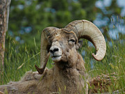 Bighorn Photos - Bighorn Sheep by Ernie Echols