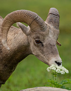 Natural Focal Point Photography Metal Prints - Bighorn Sheep Headshot in Glacier Metal Print by Natural Focal Point Photography