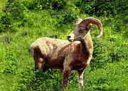 Nadine Johnston - BigHorn Sheep in Glacier...