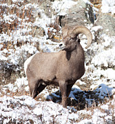 Natural Focal Point Photography Metal Prints - BigHorn Sheep in Rocky Mountain National Park Metal Print by Natural Focal Point Photography