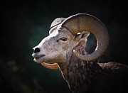 Athena Mckinzie - Bighorn Sheep Profile