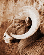 Bighorn Sheep Profile Print by Ramona Johnston