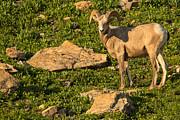 Bighorn Sheep Ram In Glacier 2 Print by Natural Focal Point Photography