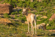 Natural Focal Point Photography - Bighorn Sheep Ram in...
