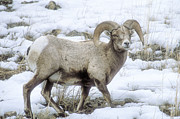 Curls Photos - Bighorn Sheep by Sandra Bronstein