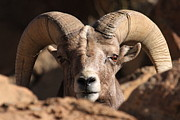 Paul Marto - Bighorn Stare  Down