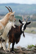 Joe Cashin Framed Prints - Bilberry goats Framed Print by Joe Cashin