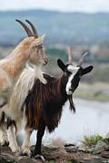 Joe Cashin - Bilberry goats