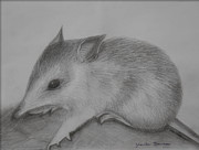 Fauna Drawings Originals - Bilby by Jolanta Benson