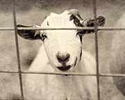 Farm Animals Framed Prints - Billy G Framed Print by Amy Tyler