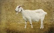 Textured Photograph Prints - Billy Goat Gruff Print by Betty LaRue