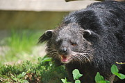 Bearcats Photos - Binturong by DR Management